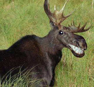happy_moose